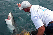 GANSBAAI, SOUTH AFRICA, DECEMBER 2004. Brian opens the mouth of a Great White. Brian Mc Farlane organises Great White Shark cage diving tours out of Gansbaai. Gansbaai is one of the best places in the world to see the Great white in its natural habitat. Photo by Jillian Macdonald/Adventure4ever.com
