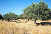 Olive trees in brown field, Rhodes, Greece