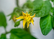 close up of a Yellow tomato blossom on a tomato bush