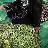Shafaq Jarar sits amongst a portion of the day's olive harvest. The Jarar family sells their olive oil to Canaan Fair Trade, where they get higher prices for their organic olive oil. Canaan Fair Trade is a company that  strives to create economic stability for Palestinian farmers by giving them direct access to foreign markets for their high-quality agricultural produce.