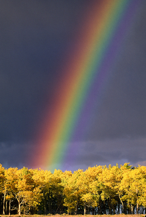Rainbow & autumn aspens [Populus tremuloides] ; Colorado
