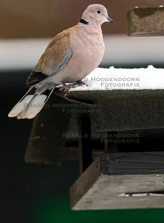 23-01-2019 NED: Birdwatch around your garden, Maarssen<br /> Turkse tortel (Streptopelia decaocto)