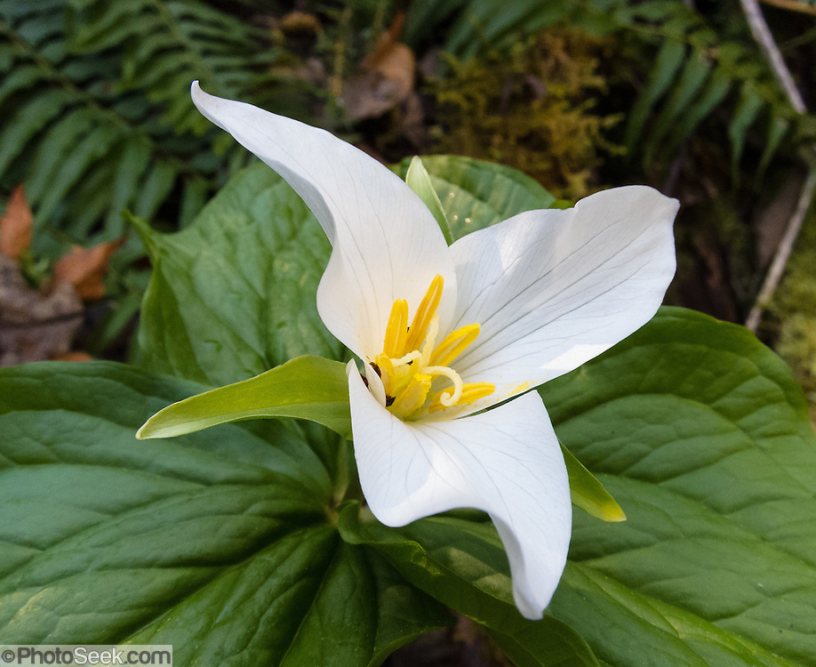 The white flower of a Trillium plant blooms to attract pollinators on Squak Mountain, Washington, USA.