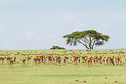 A Heard of Impala (Aepyceros melampus). Photographed in Tanzania