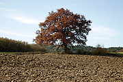 big oak tree during autumn season France Languedoc