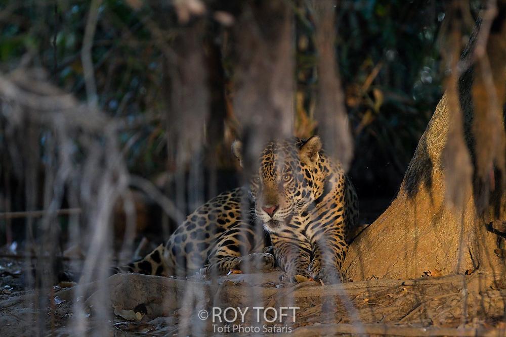 Wild Jaguar (Panthera onca), Pantanal, Brazil