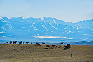 Gathering cattle, branding, Hamm Ranch, Wilsall, MT, Crazy Mountains, Rodie Keyes