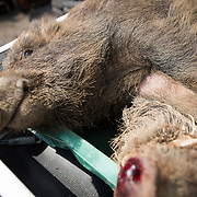 TOMIOKA TOWN, JAPAN - MARCH 30 : Wild boars killed by a pellet gun are seen lying in the back of a truck at a residential area near Tokyo Electric Power Co's (TEPCO) tsunami-crippled Fukushima Daiichi nuclear power plant in Tomioka town, Fukushima prefecture, Japan, March 30, 2017. (Photo by Richard Atrero de Guzman/NUR Photo)