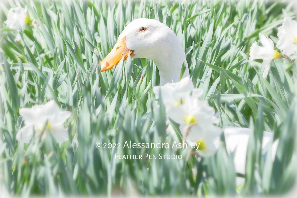 High key portait of white Pekin duck camouflaged while enjoying the spring sunshine among white and yellow naturalized trumpet daffodils in garden setting.