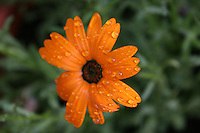 Orange flower with rain drops
