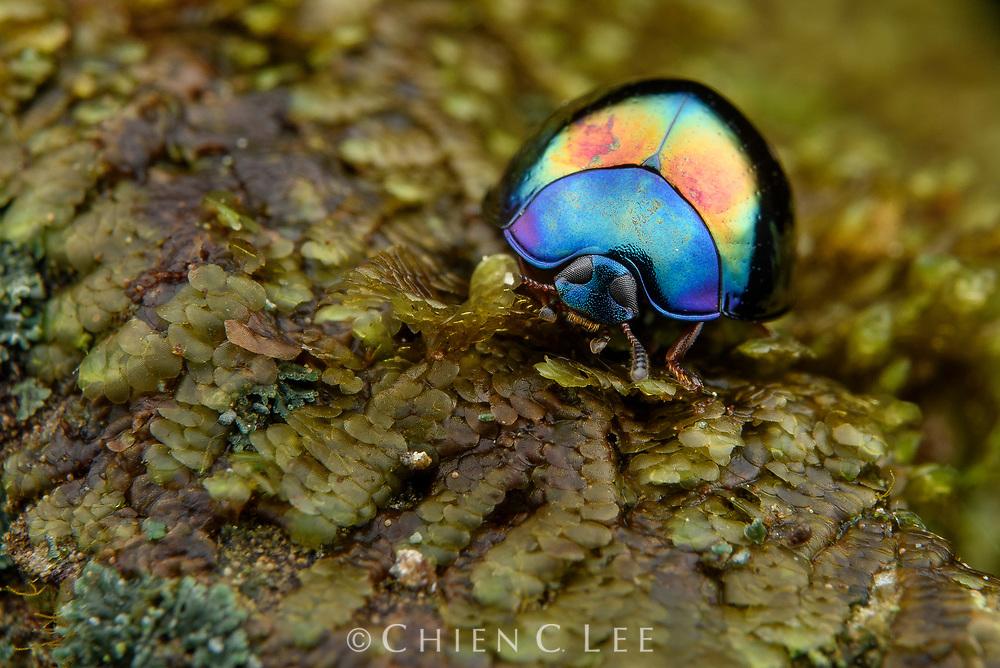 Darkling beetle (Tetraphyllus sp.). Sarawak, Malaysia.