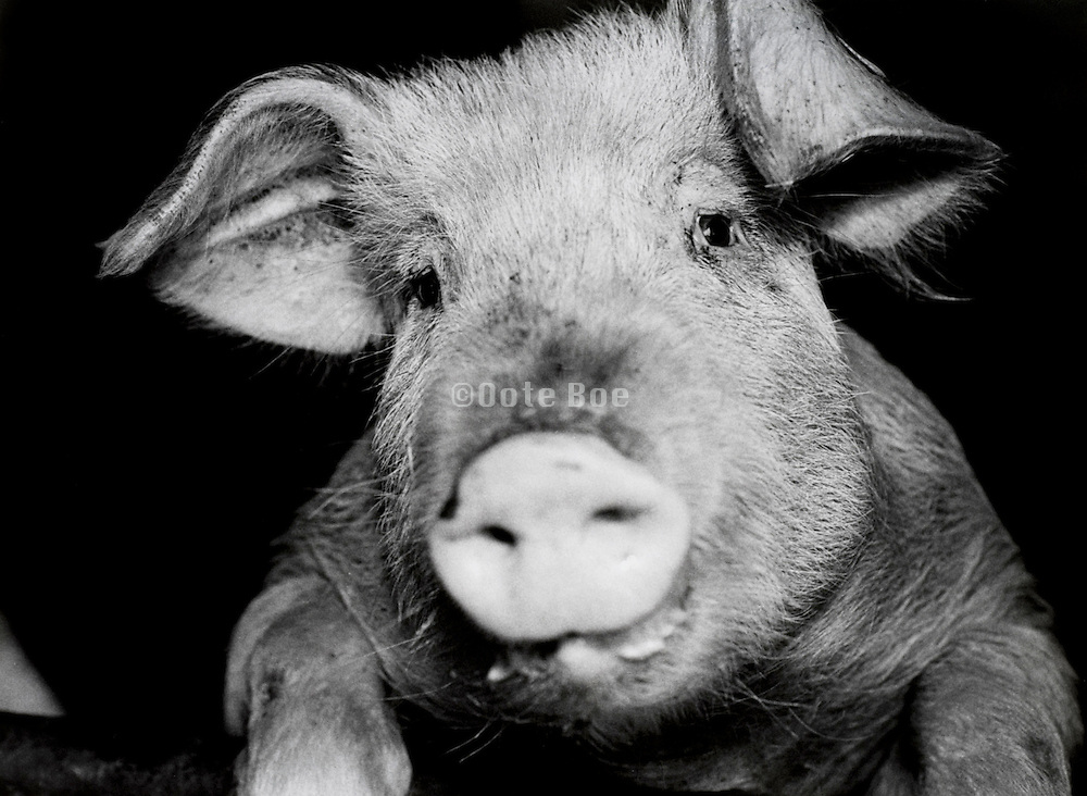 Portrait of a pig