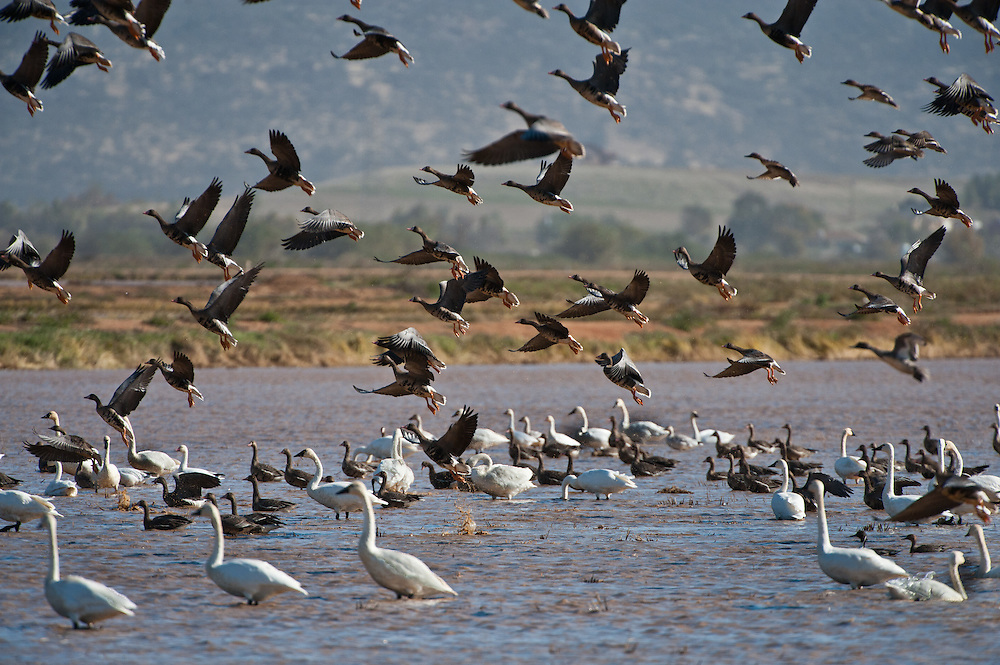 Geese take off in a flotilla of waterfowl abound in the rice fields and marshes of the Sacramento Valley.  Over 20 kinds of ducks, geese, swan and waterbirds make their fall and winter home here near Marysville, and at other Valley marshes such as Gray Lodge Wildlife Area, Cosumnes River Preserve, and Sacramento, Stone Lakes  and Colusa  National Wildlife Refuges