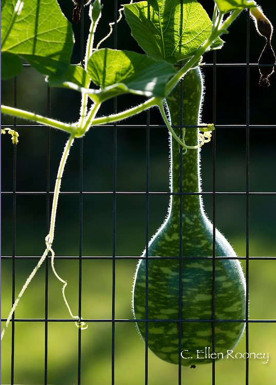 A gourd and vines growing on a fence in a kitchen garden in Westerlo, New York State, U.S.A.