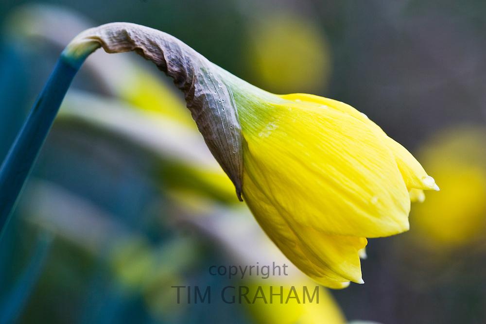 Daffodil flower opening, Oxfordshire, United Kingdom UK