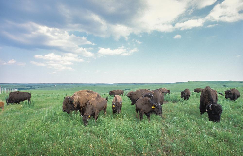 Kansas, USA - Bison roaming the Konza Prarie