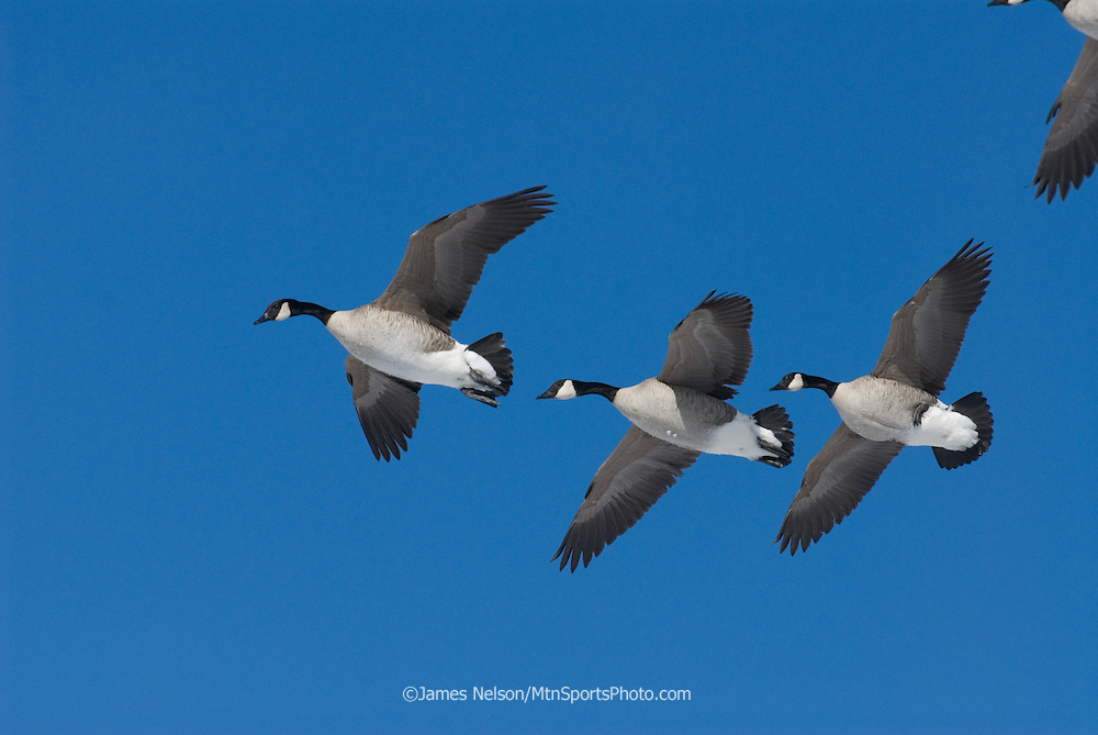 Canada geese set their wings before landing along the Snake River, Idaho.