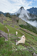Alpaca graze on grass at the Inca citadel of Machu Picchu.