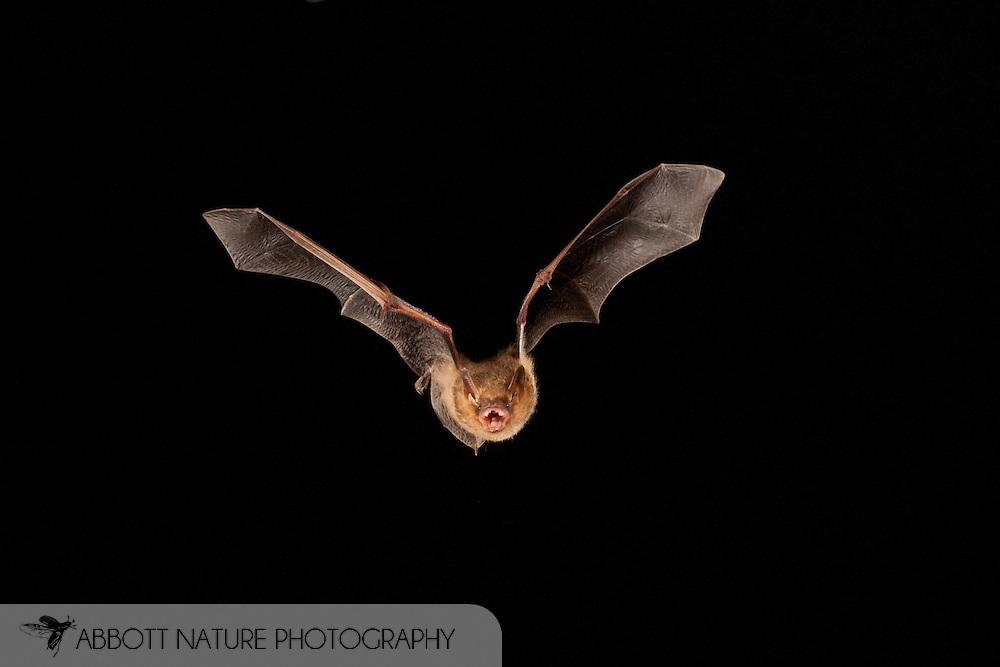 Eastern Pipistrelle (Perimyotis subflavus) flying; shots taken with high speed flash<br /> TEXAS: San Saba Co.<br /> Pecan Orchard outside of San Saba<br /> 25.July.2009<br /> J.C. Abbott &amp; K.K. Bauer