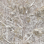 tree close up with green misletoe and snow
