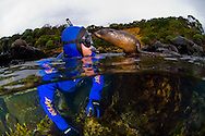 A curious New Zealand Fur seal pup checks out a snorkeller. Stewart Island. New Zealand<br /> <br /> This image is available from; http://www.photonewzealand.com/search/preview/inquisitive-new-zealand-fur-seal-pup-checks-out/0_00256998.html
