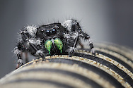 A bold jumping spider (Phidippus audax) sits on my backyard chair - Oxford, Mississippi