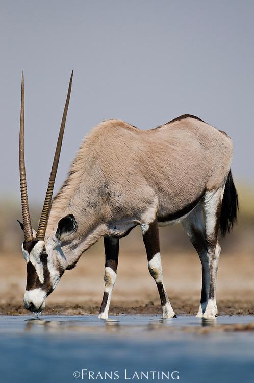 Oryx drinking at waterhole, Oryx gazella, Etosha National Park, Namibia