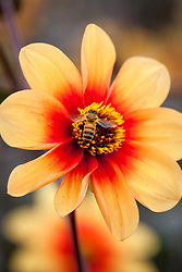Dahlia 'Moonfire' AGM with bee