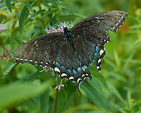 Black Swallowtail Butterfly with Tattered Wings on a Joe-Pye Weed in the Sourland Mountain Preserve. Image taken with a Nikon 1 V2 Camera FT1 Adapter, and 70-300 mm VR lens (ISO 160, 195 mm, f/5.6, 1/250 sec).
