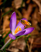 First Hint of Spring -- Early crocus flower with a honey bee across the street. Winter nature in New Jersey. Image taken with a Fuji X-T2 camera and 100-400 mm OIS lens (ISO 200, 400 mm, f/5.6, 1/250 sec)