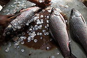 Fresh fish have their scales scraped off at the Sonargaon market in the town of Sonargaon outside Dhaka, Bangladesh.
