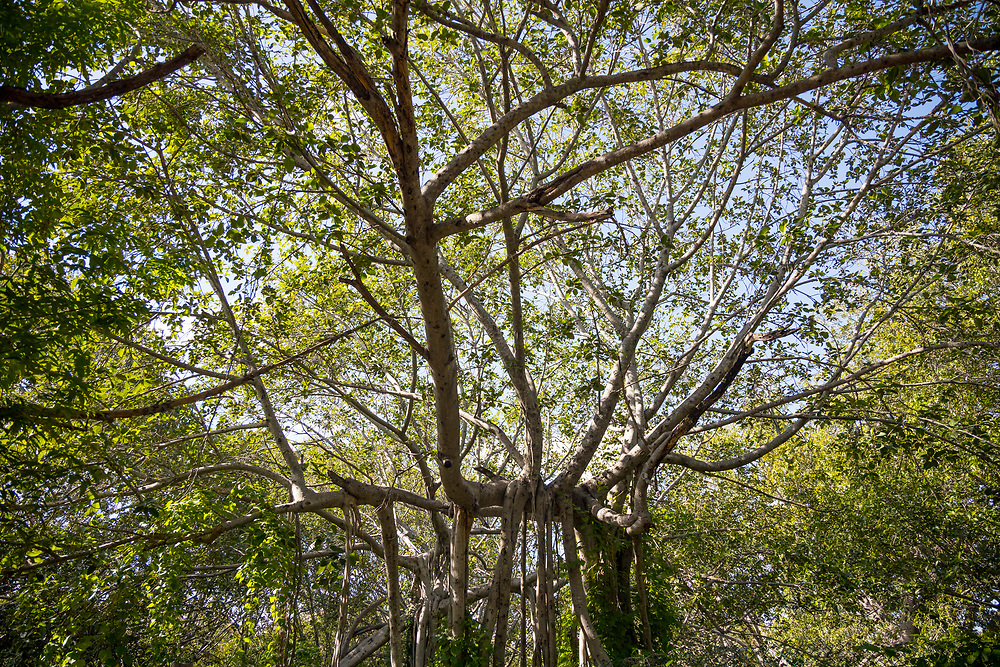 """THIMMAMMA MARRIMANU, INDIA - 28th October 2019 - Thimmamma Marrimanu - the world's largest single tree canopy. With more than 4000 roots, the banyan tree (Ficus benghalensis) was first added to the Guinness Book of World Records in 1989 (its entry updated in 2017) as being 550 years old and having the """"greatest perimeter length for a tree"""", spreading over five acres with a circumference of 846m. Andhra Pradesh, South India."""