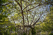 "THIMMAMMA MARRIMANU, INDIA - 28th October 2019 - Thimmamma Marrimanu - the world's largest single tree canopy. With more than 4000 roots, the banyan tree (Ficus benghalensis) was first added to the Guinness Book of World Records in 1989 (its entry updated in 2017) as being 550 years old and having the ""greatest perimeter length for a tree"", spreading over five acres with a circumference of 846m. Andhra Pradesh, South India."