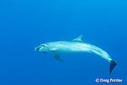 bottlenose dolphin, Tursiops truncatus, feeding on almaco jack, or Kona kampachi, Seriola rivoliana, that escaped from Kona Blue Water Farms fish pen, off Keahole, Kona Coast, Hawaii Island ( Central Pacific Ocean )