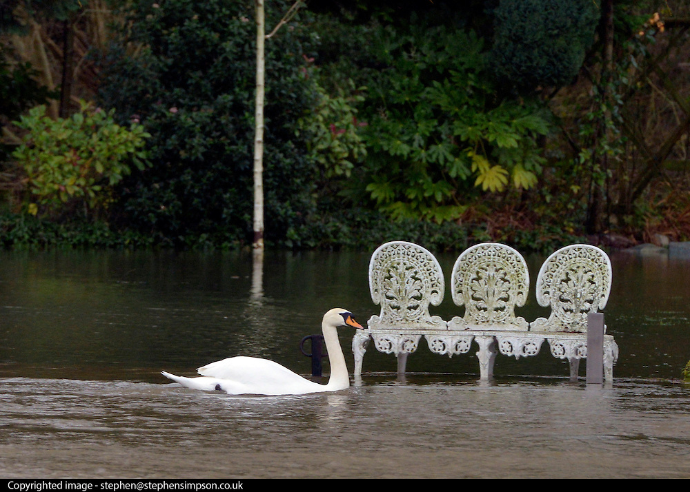 © Licensed to London News Pictures. 29/12/2012. Shepperton, UK A swan swims by a flooded garden on Pharaoh's Island, Surrey.  Flooding along the River Thames today 29th December 2012. Forecasters say the UK can expect heavy rain and winds the coming days. Photo credit : Stephen Simpson/LNP
