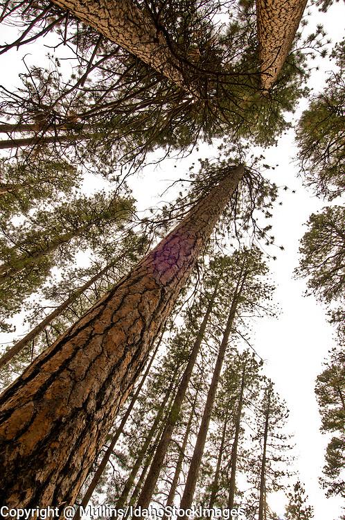 Ponderosa pine (Pinus ponderosa) forest in central Oregon near Bend