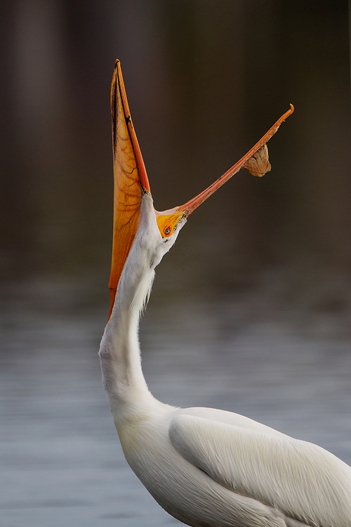 Stock photo of American White Pelican captured in Colorado.  These are the largest of the boreal birds.  They can weigh as 30 pounds, with a wing span of nine feet.