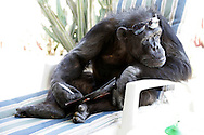 EXCLUSIVE 24th June 2008, Palm Springs, California. 76-year-old Cheeta, star of many Hollywood Tarzan films of the 1930s and 1940s, is coming out of retirement. Recognized as the oldest chimpanzee alive, the Palm Springs resident has just signed a record deal. To celebrate the signing, Cheeta made a promo music video to accompany his cover of the 1975 hit song 'Convoy'. Pictured with Cheeta signing the contract is record exec. John Trickett of independent music label Immergent. PHOTO © JOHN CHAPPLE / www.johnchapple.com .tel: +1-310-570-9100