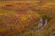 """A stream once flowed here now only a meandering spring displaying autumn color the Takh Takh Meadow Gifford Pinchot National Forest in Washington state's Cascade Mountain Range near Mount Adams. (""""Takh Takh"""" is a Taidnapam/Yakama word meaning """"small Prairie"""")"""