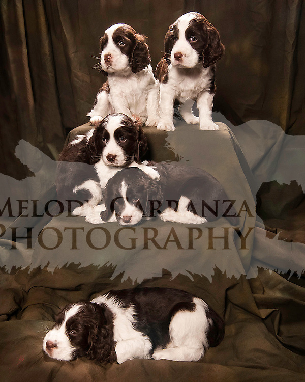 Puppies have their portraits taken, Feb 25, 2012.  Photography by Melody Carranza..