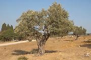 Israel Olive tree