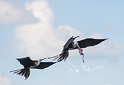 A Magnificent frigatebird in flight, holds fish entrails in its bill while another tries to steal it.