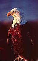 Bald Eagle (Haliaeetus leucocephalus) at sunrise,near Homer, Alsaka.