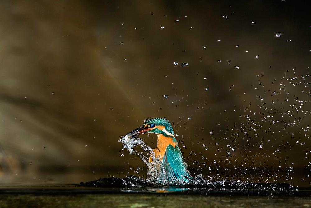 Kingfisher (Alcedo Atthis) jégmadár, Balatonfuzfo, Hungary