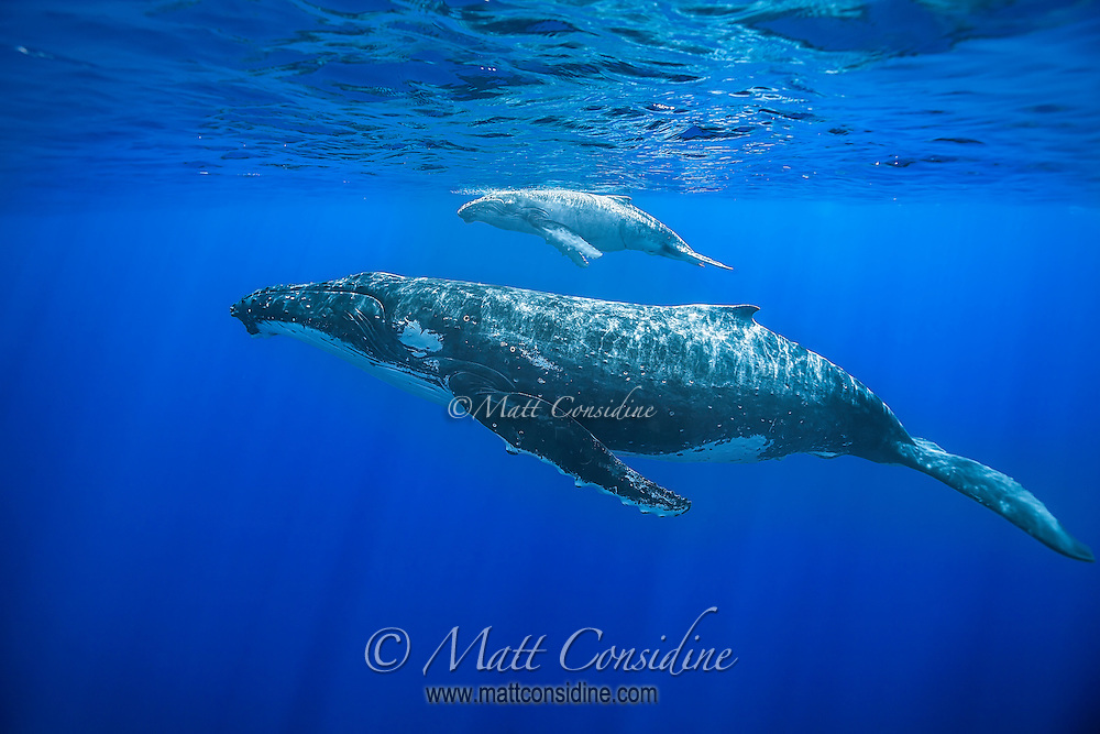 The whales sometimes remain almost stationery near the surface. This young calf has unusually light coloring. (Photo by Underwater Photographer Matt Considine)