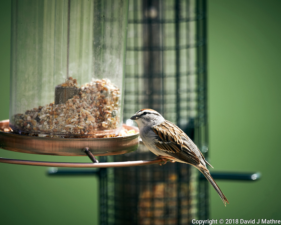 Chipping Sparrow at a bird feeder. Image taken with a Nikon D4 camera and 600 mm f/4 VR lens (ISO 125, 600 mm, f/4, 1/400 sec).