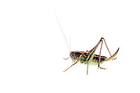IFTE-NB-007389; Niall Benvie; ?Decticus verrucivorus; Austria; grasshopper; Europe; Tirol; Fliesser Sonnenhänge; insect invertebrate arthropod; horizontal; high key; green white; controlled; female; one; upland grassland meadow; 2008; July; summer; strobe backlight; Wild Wonders of Europe Naturpark Kaunergrat