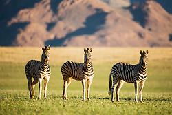 Burchell's zebra (Equus quagga) grazing on a grassy plain in the wet season of the Namib Desert, Namib Desert, Namibia, Africa