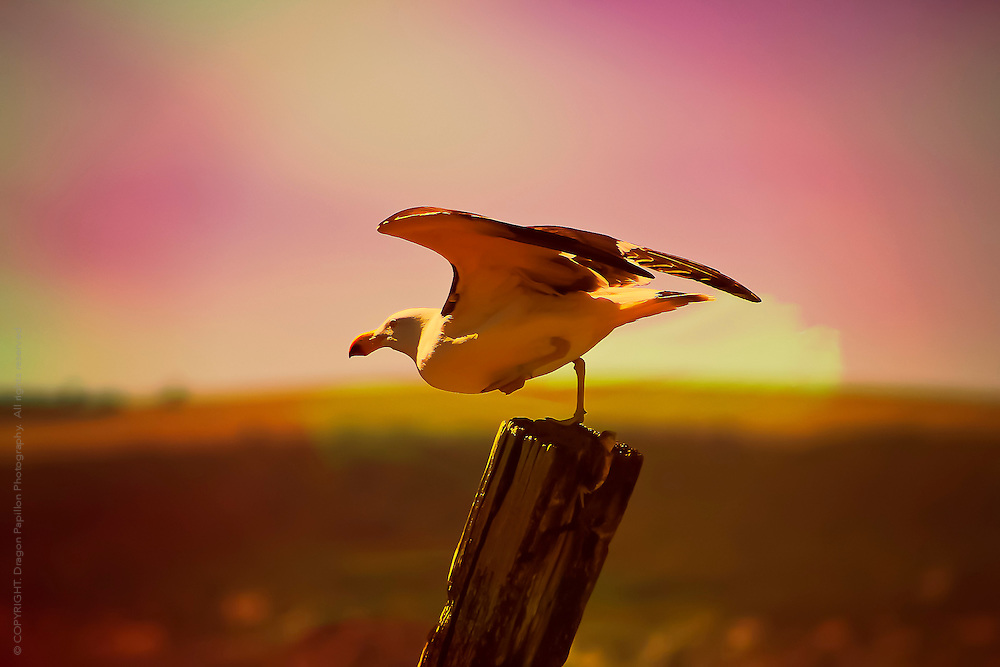nature photography, sea gull against twilight coloured background balancing on one leg on a fence post about to take flight