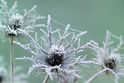 Hoar frost on the seedhead of Eryngium x oliverianum - Sea holly